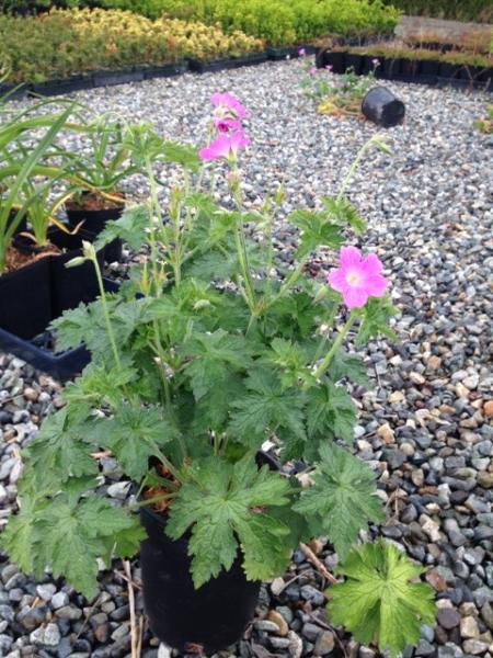 Geranium Patricia (flowering) #1