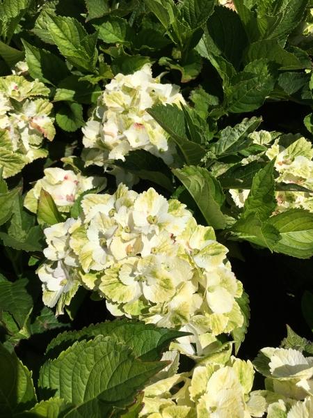 Hydrangea Everlasting 'Noblesse' in flower