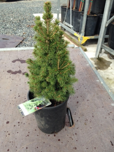 Picea abies Conica #1