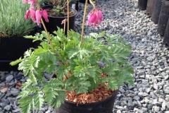 Dicentra Luxeriant #1 Flowering