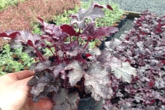 Heuchera Plum Pudding #1