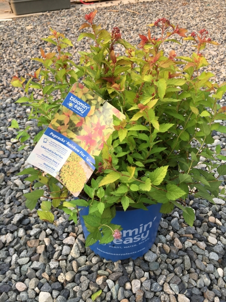 Spiraea Double Play 'Painted Lady' BE #2