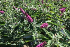 Buddleia Lo & Behold 'Pink Micro Chip' PW #2